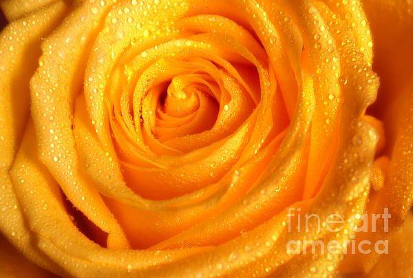 Golden Glowing. Floral Jewel. Yellow Rose by Jenny Rainbow. #Yellow #Rose #YellowRose #Drops #Macro #Flower #Floral #Garden #FineArtPrints #InteriorDesign #Golden #Beauty
