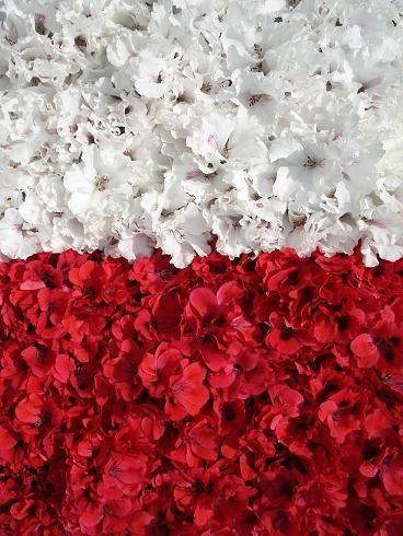 Polish flag (Pelargoniums) by Dorocia, via Flickr