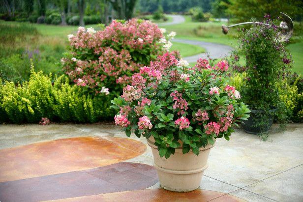 Desde luego no es tarea sencilla cultivar hortensias en macetas y ello hemos de tenerlo bien claro. Es una planta que no aguanta bien el interior y las que adquirimos procedentes de invernadero nec…