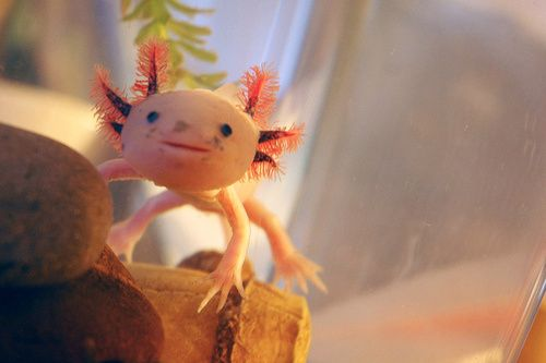 Axolotls are seriously adorable, but they're also in serious danger. Between 1998 and 2008, their population dropped from 1,500 per square mile in their range to 25. And it's not because they're all being recruited to train for Pokemon fights.