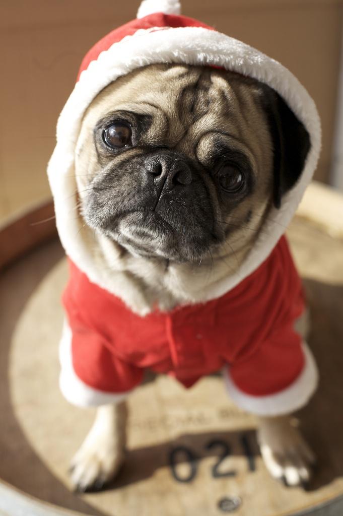 merry christmas bitches.  pugs and kisses!  meester miyagi #Holiday #Dogs