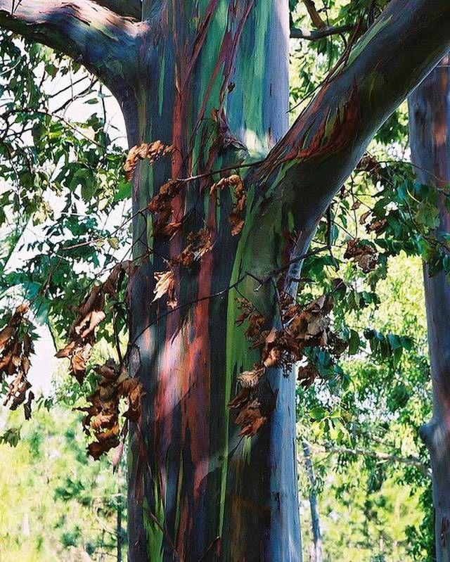 feralf - Increíble Eucalipto Arcoíris (Eucalyptus deglupta)