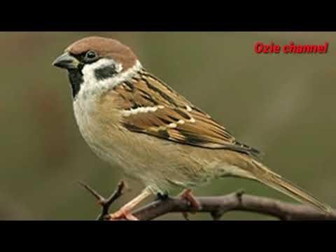 Suara Burung Gereja Tarung Gacor Youtube World Birds Pet Birds Backyard Birds