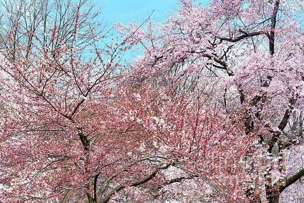 Cherry Blossom Andante By Regina Geoghan Cherry Blossom Cherry Blossom Images Blossom