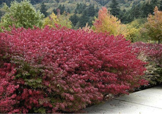 Easy Garden Guide: 6 Low-Maintenance Yet Show-Stopping Shrubs -- burning bush