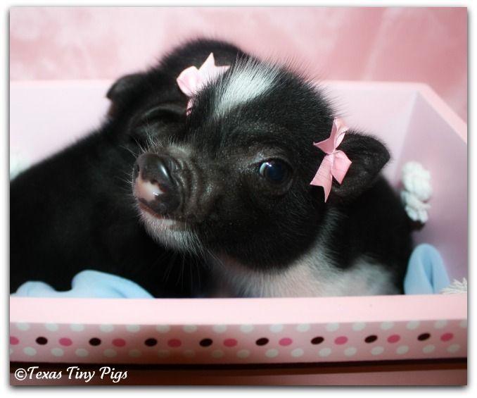 i just need a micro mini pig, so baddddd