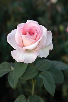 'Pink Promise' ~ Hybrid Tea 2009  1 réépinglage    Épinglé à partir de rose.org( what you believe in is as important  as the way you feel . Everything beautiful that blooms takes time.)