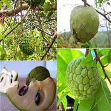 20 sztuk Soursop Graviola, Annona Muricata, Profesjonalne Pakowanie, Owoce Nasiona Scheda, Owoce Tropikalne NO-GMO dobre dla zdrowia(China (Mainland))