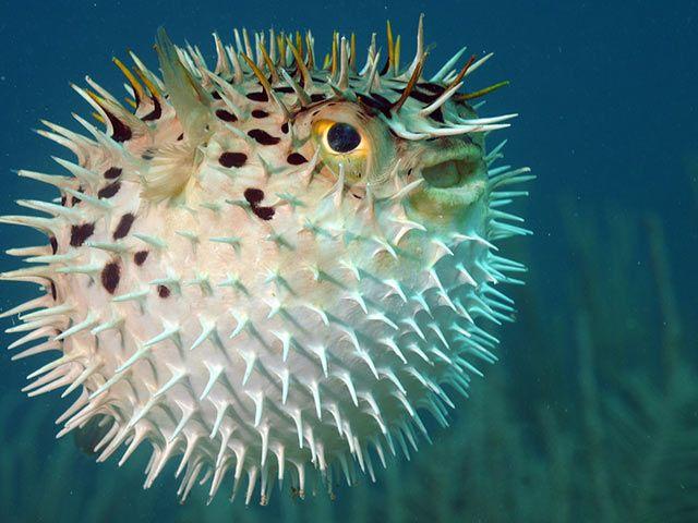 kugelfisch.jpg (640×480)