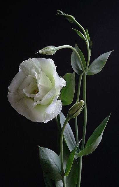 Lisianthus - Eustoma Grandiflorum - is found in warm regions of the Southern United States, Mexico, Caribbean and northern South America. It is popular as an ornamental, a potted indoor plant, and a cut flower.