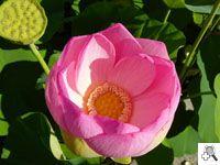 LOTUS    Een bochtige bekken is de thuisbasis van de Nelumbium, de lotusbloem, uit vlezige en geurige bloemblaadjes roze gearceerd.