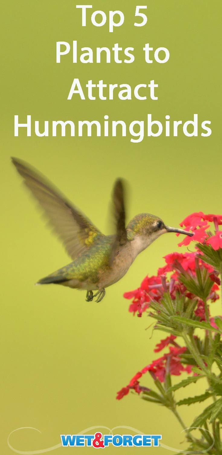 8 Plants That Attract Butterflies And Hummingbirds Plants That Attract Butterflies Hummingbird Plants How To Attract Hummingbirds
