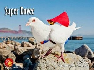 Super Dovee: read the story of this rescue white King Pigeon on the website of  MickaCoo Pigeon & Dove Rescue