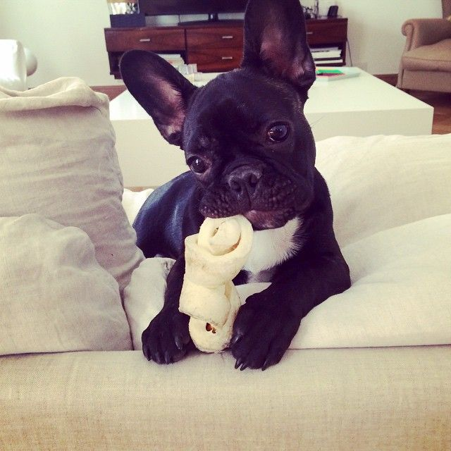 'Just Chewin' my Bone', French Bulldog Puppy.