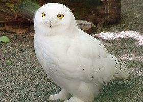 Cute Barn Tyto Owl Wallpaper 20 Best Owls Images On Pinterest Barn Owls Owls And Barn