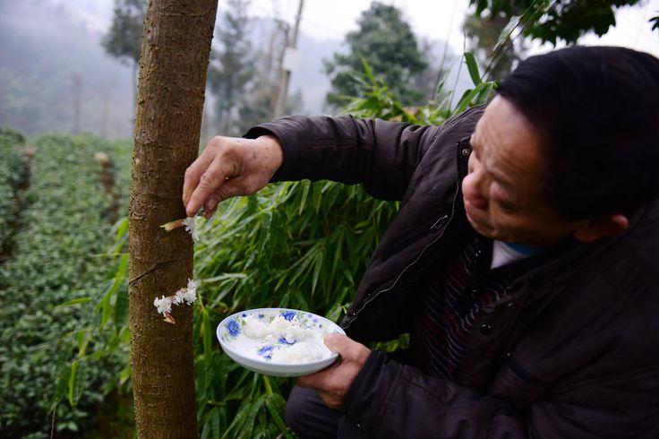 Seperti Manusia, Pohon di Desa Ini Juga Makan Nasi Putih Loh https://malangtoday.net/wp-content/uploads/2017/02/pohon-makan-nasi-1-1.jpg MALANGTODAY.NET – Ternyata bukan hanya manusia saja, mahluk hidup yang makan nasi. Namun tanaman juga memakan nasi untuk masa pertumbuhan. Biasanya tumbuhan membutuhkan sinar matahari, udara, tanah dan air untuk bertahan hidup. Tapi tidak dengan pohon di negara ini. Penduduk di sebuah ... https://malangtoday.net/inspirasi/hiburan/sep