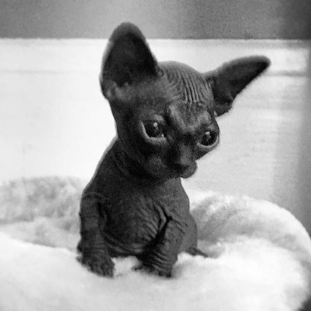 Feed Kitten Marlon Brando Cat Food Placemat Kitty Cats Cute Cute Hairless Cat Cute Cats And Kittens Cute Baby Animals