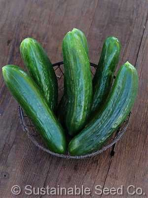 Organic Muncher Burpless Cucumber Seeds - Sustainable Seed Co.