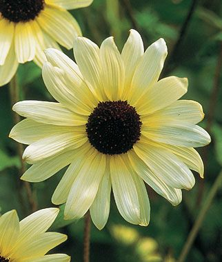 Sunflower 'Vanilla Ice' - A very unusual Sunflower that would be worth a try in your sunny spot. Height 5-6'