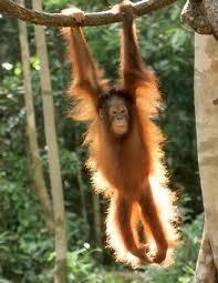 orang utan, rainforest of Borneo