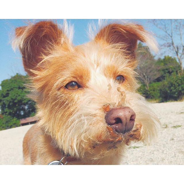 ぽっかぽか🌞 子どもの自転車と共に散歩につれまわすコース🐾🐕 このショビ毛ひっつき虫つきやすいんかな😂大量収穫🍂  #caramel#キャラメル#雑種犬#mix犬#ミックス犬#テリアミックス#terriermix#テリア#terrier#保護犬#元保護犬#里親#犬#わんこ#dog#愛犬#癒し犬#dogstagram#いぬばか部#いぬすたぐらむ#いぬのいる暮らし