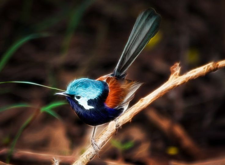 Red Wing Fairy Wren, Pemberton, Southwest Australia