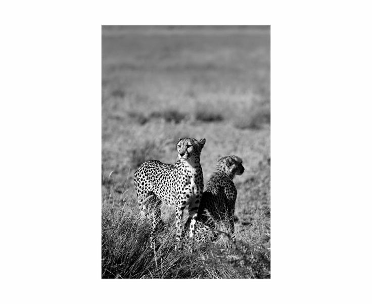 "Maravillas | South Wind Pictures Africa: ""Cheetah with Cub"", Namibia 2010"
