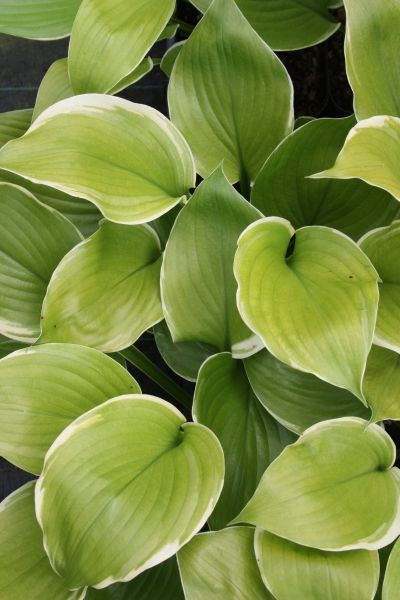 2015  This Hosta 'Sum and Substance' sport has proved to be the best of several white-edged mutations. Hosta 'Winter Snow' makes a massive 5' wide clump of huge chartreuse leaves, each with a nice white border. The clumps are topped with arching spikes of large lavender flowers in early summer...a hummingbird haven.