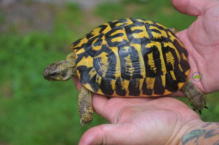 For Sale Western Hermann's tortoise (Testudo hermanni hermanni) - FaunaClassifieds
