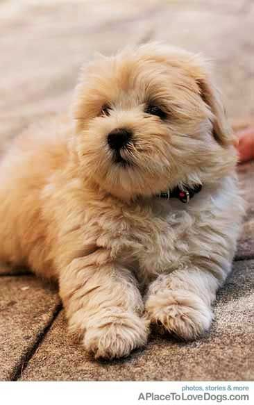 Honey An 8 Week Old Shih Tzu Lhasa Apso A Place To Love Dogs Makes Me Smile Pinterest