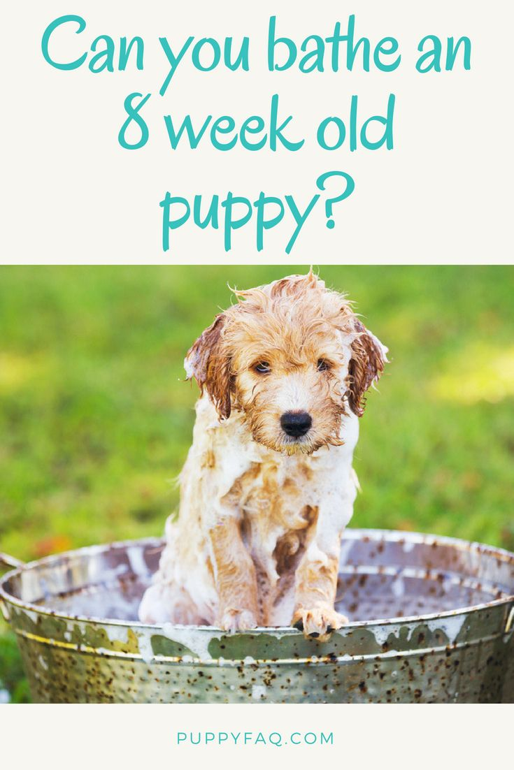 Can you bathe an 8 week old puppy or is it too soon