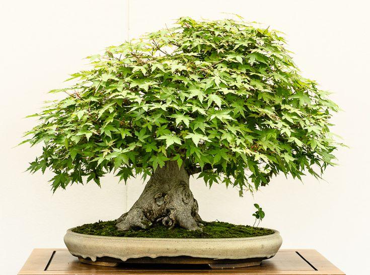 Die besten 17 bilder zu bonsai baume auf pinterest for Garten planen mit bonsai acer