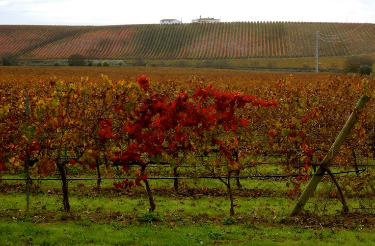 Wine trees, South Portugal.