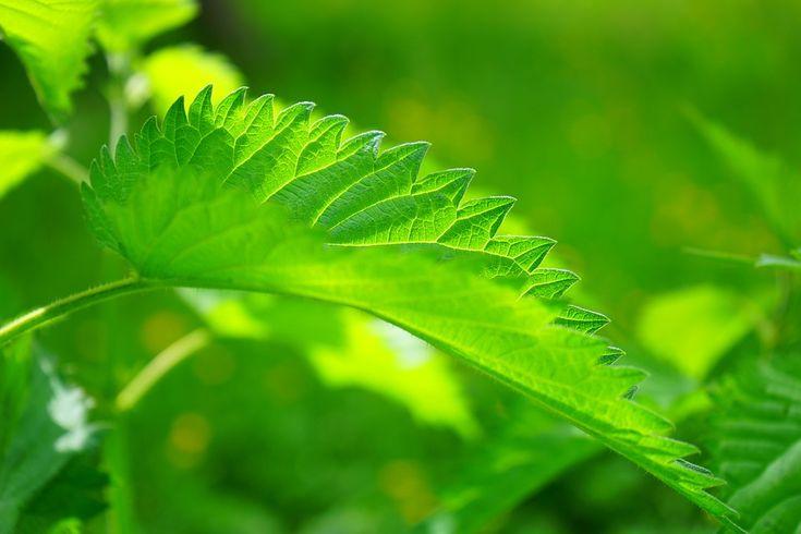 léčivé rostliny, které můžete pěstovat doma