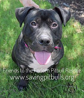 Dallas, GA - Pit Bull Terrier. Meet Lacey, a dog for adoption. http://www.adoptapet.com/pet/16289517-dallas-georgia-pit-bull-terrier