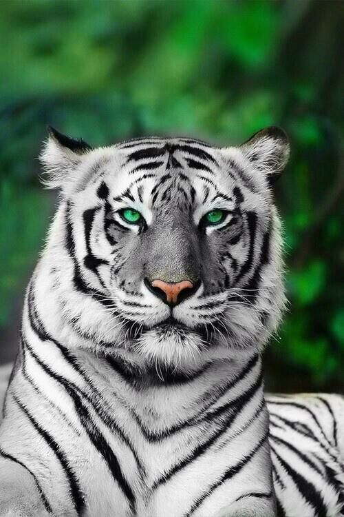 White Tiger | Nature/S...