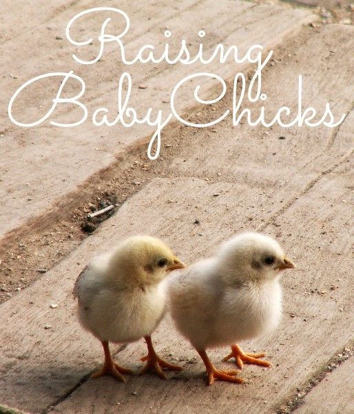 Raising Baby Chickens: A Beginner's Guide. How to make sure your new flock stays happy and healthy! Great tips to remember when you go to the store.