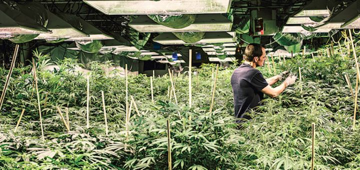 mega jackpot weed strain