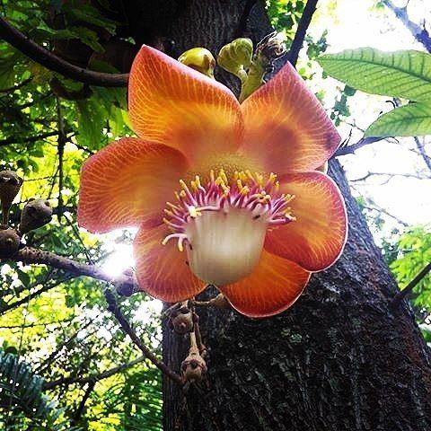"""Esta flor tan colorida y particular es del taparón o bala de cañón.  Un árbol que puede crecer unos 15 o 20 metros de altura y lo más resaltante además del agradable olor y belleza de sus flores es su fruto redondo y robusto que crece generosamente directamente desde el tronco del árbol.  Estos frutos son redondos como de unos 20 cm de diámetro o tal vez un poco más son masivos y pesados de allí su nombre común """"bala de cañón"""". Al contrario del agradable olor que tienen las flores el fruto…"""