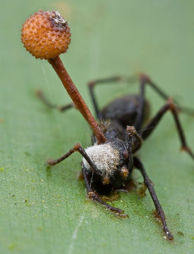 97 best images about Zombie Ants & Things on Pinterest | The ...