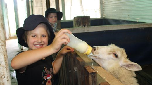 Evatt Primary School student feeding a lamb during a visit to a local farm