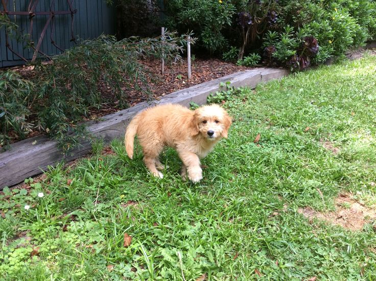 Reviews of Banksia Park Puppies At Banksia Park Puppies we get many reviews from happy puppies with their families. Below are some of the many letters and photos that we have received as reviews sh...