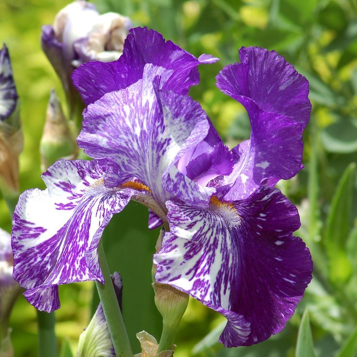 Grow These Types of Irises to Extend the Season of Color