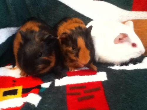 Baby Guinea Pigs for Sale at Petco | Adorable Baby Guinea Pigs For Sale for Sale in Boaz, Wisconsin ...