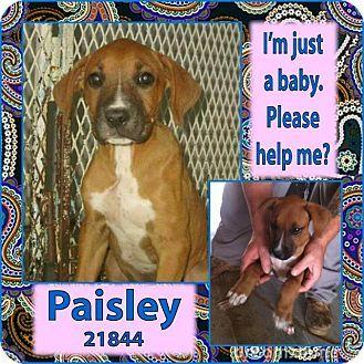 Altus, OK Boxer/Affenpinscher Mix. Meet Paisley a Puppy