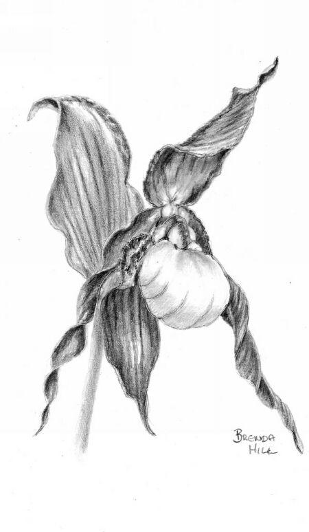 Mountain Lady Slipper, graphite by Brenda Hill