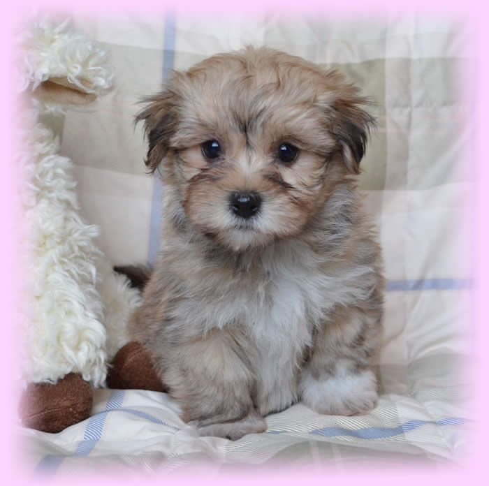 Havanese Puppies Dogs for Adoption in Gauteng South Africa