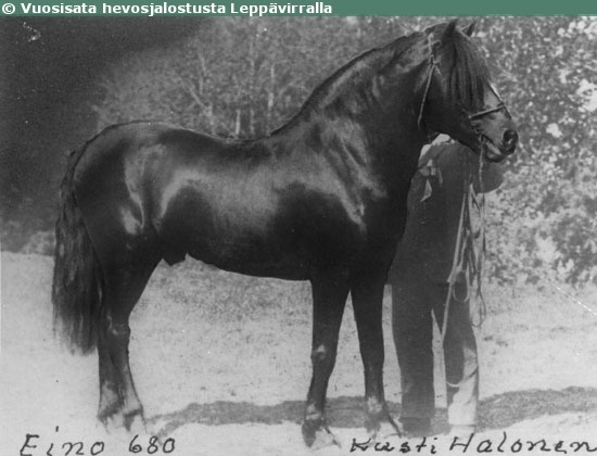Finnhorse stallion Eino, born in 1888