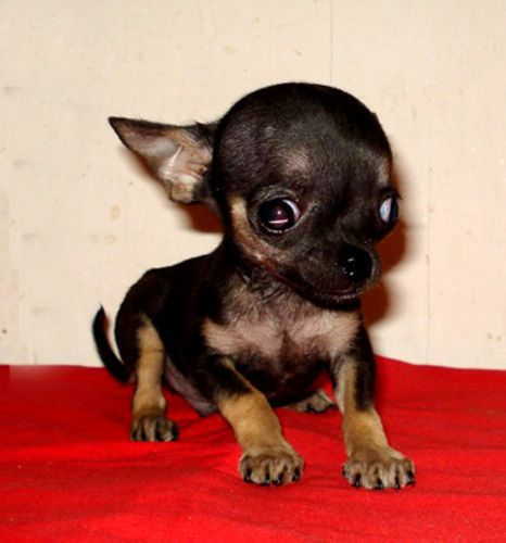 Male Chihuahuas 10 Weeks 1 2 Pounds Health Condition