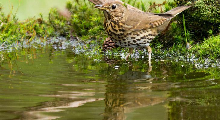 Singvögel wie diese Singdrossel freuen sich bei Hitze schon über kleine flache Wasserbecken.